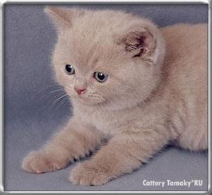 лиловый цвет британских кошек фото